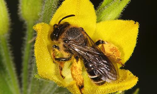Auen Schenkelbiene Gilbweiderich Foto Volker Mauss Wildbiene des Jahres 2020: die Schenkelbiene