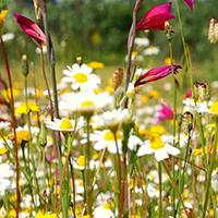 Der wilde Blumensommer in Abtsgmünd