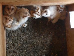 Die sieben jungen Eulen kuscheln sich gerne eng zusammen