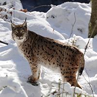Der Eurasische Luchs (Lynx lynx) – die größte Raubkatze Europas