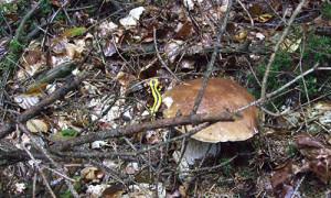 Steinpilz_Salamander