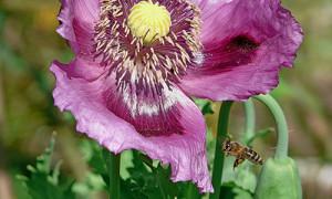 Biene bei der Arbeit. Foto: Ulrich Erhard_VDN