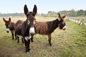 Esel-Trekkingtour für Familien