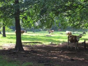 Kühe im Wald? Die Waldweiden der Waldenburger Berge