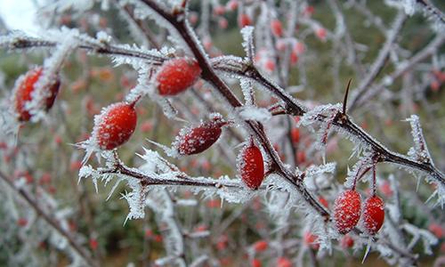 rauhreif 1 Hagebutten: eine Winterfrucht, die es in sich hat!