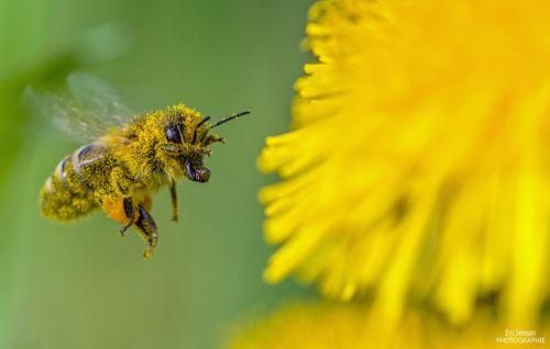 1 Evi Seeger Biene Weinberg Bühlertal Pollenübersäte Biene im Anflug begeisterte die Jury