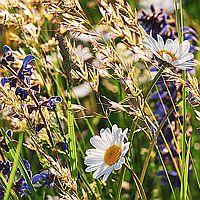 BNPe1_Wildblumenwiese Beitragsbild