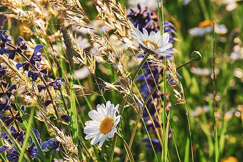 BNPe1 Wildblumenwiese Naturpark Samentütchen