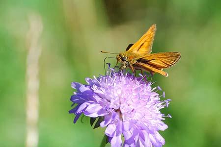 Dickkopffalter Forum Bienenweide   Artenvielfalt fördern