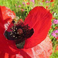 Gerd-Emmert-Biene-auf-Mohn Beitragsbild