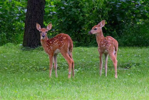 Hirschkälber Artikelbild c pixabay Der König des Waldes