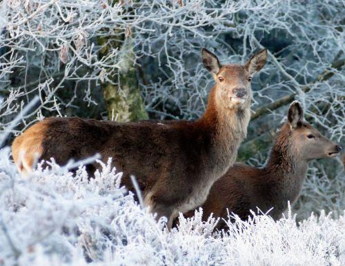 Hirschkühe Artikelbild c pixabay Der König des Waldes