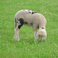 Schafspaziergang Kober Beitragsbild