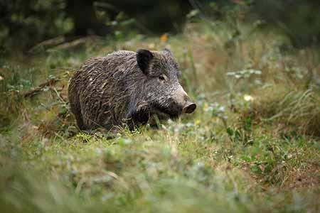 Wildschwein01 Wilde Sau im Januar auf Tour