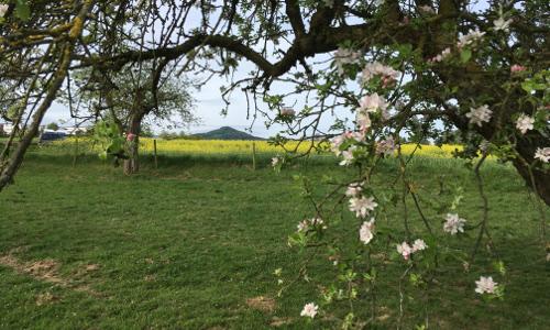 Eike Obstwiese mit Blick auf Oelberg500x300 Apfelblüte im Naturpark Siebengebirge