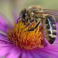 Honigbiene (c) VDN/S.M.