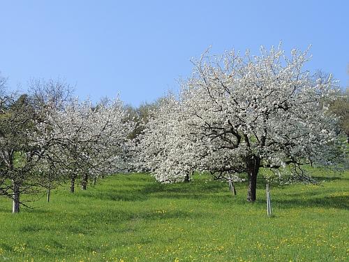 Kirschblüte groß Kirschen auf der BUND Streuobstwiese