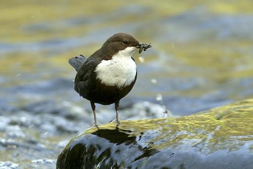 Wasseramsel groß Der frühe Vogel fängt den Wurm (Vogelexkursion)