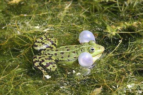 Wasserfrosch groß Amphibien kennen lernen und schützen