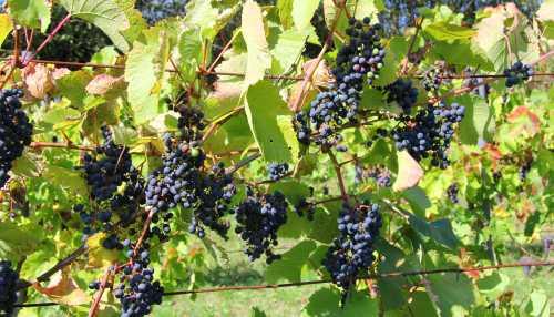 Wein groß Wingertswanderung an der unteren Nahe