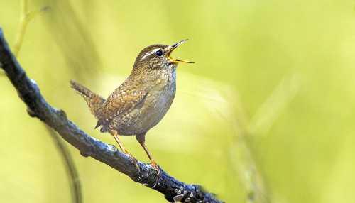Zaunkönig VDN Blum Vogelstimmenwanderung