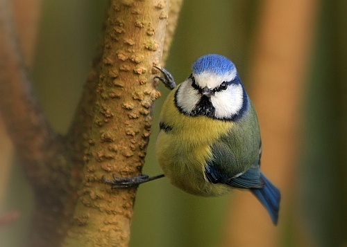 """blaumeise groß Exkursion zur """"Stunde der Wintervögel"""""""