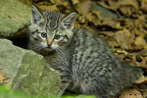 wildkatze groß Rettungsnetz Wildkatze
