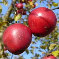 Äpfel 200x200
