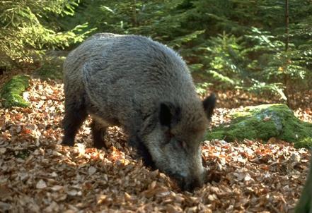 18 Wildschwein Feines Wildfleisch aus dem Spessart
