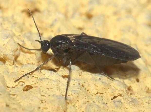 640px Sciaridae P1160441a 620x459 Interessante Beobachung: Ein Heerwurm