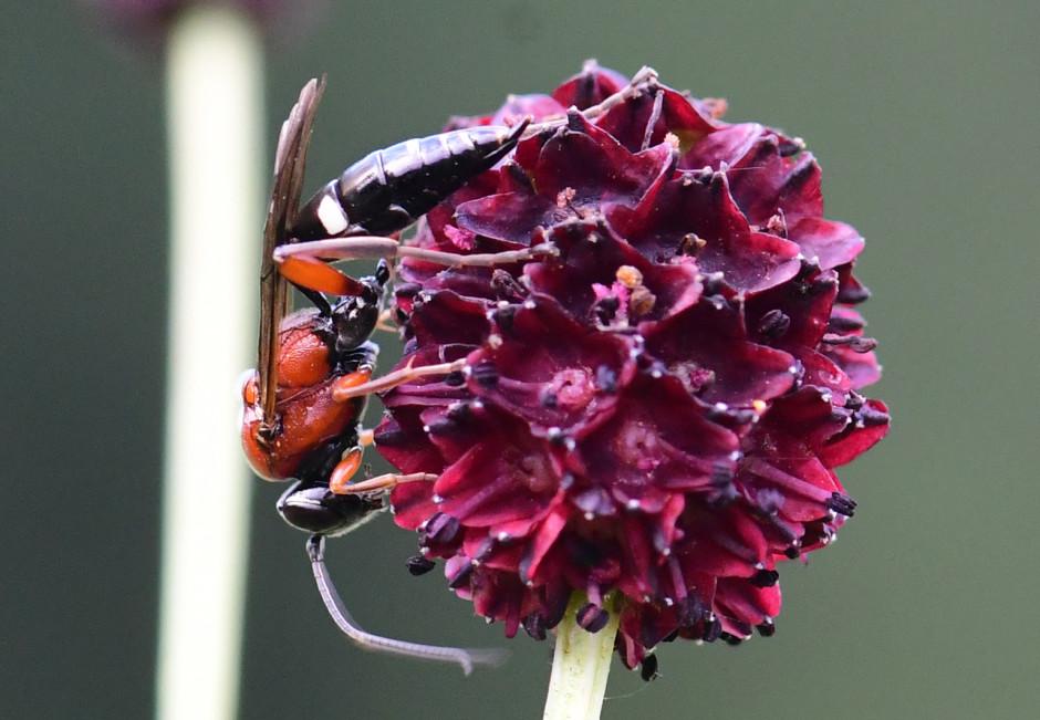 Ameisenbläuling Schlupfwespe T.Ruf  940x651 Hochspezialisierte Schlupfwespe nachgewiesen