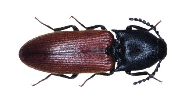 Ampedus cardinalis Sebastian Vogel1 620x349 Kreuzwertheimer Streuobstgebiet   Hotspot seltener Arten