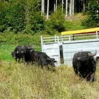 Ankunft der ersten Büffel (Foto Salomon) 200x200