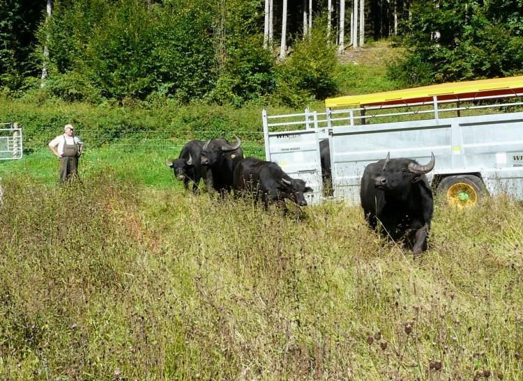 Ankunft der ersten Büffel an den Dianateichen. Links Schäfer Tausch Foto Salomon Erweiterung der Wasserbüffelweide