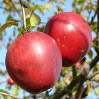 Äpfel bei Wolfsmünster