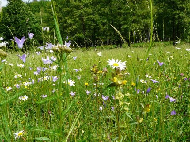 Artenreiches Blütenmeer Angesäte Wiese im Weihersgrund Foto C. Salomon 1 620x465 Naturpark Spessart vermehrt seine besten Wiesen