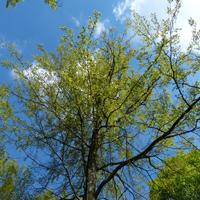 Baumkrone im Frühjahr