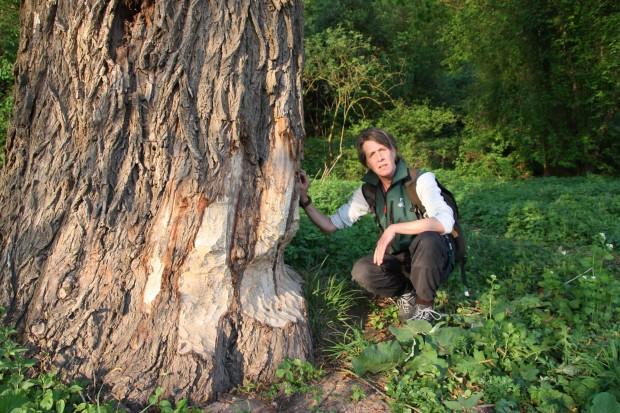 Berit am Biberbaum 620x413 Berit Arendt als vierte Rangerin des Naturparks unterwegs...!