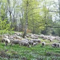 Beweidung Steigwiesen, Foto: Torsten Ruf
