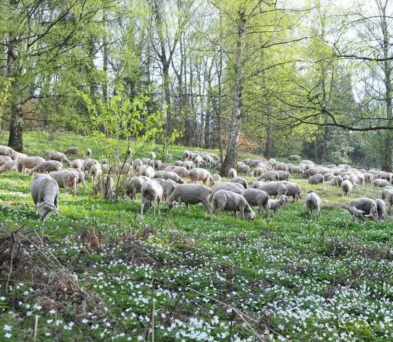 Beweidung Steigwiesen Torsten Ruf Die Heidewicken werden mehr