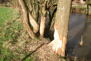 Biberspuren an Baum O.Kaiser Meister Bockert