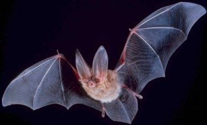 Big-eared-townsend-fledermaus wiki