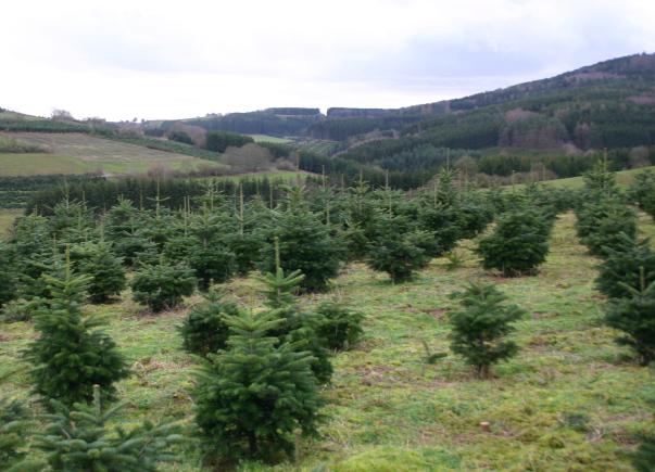Christbäume Aura Tipps für den Weihnachtsbaumkauf