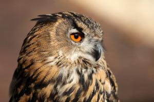 Europäischer Uhu reinhart 300x200 Greifvögel und Eulen   Besuch beim Falkner
