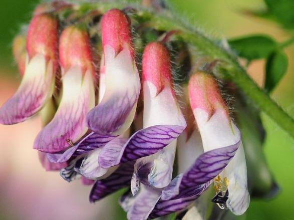 Heidewicke bearbeitet 2 Die Orber Wicke: eine Pflanze mit Seltenheitswert