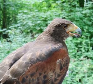 Greifvogelfortbildung 2016 Klingeberg