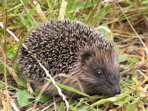 Igel Tony Wills wikimedia Commons Igel gefunden   Was nun?