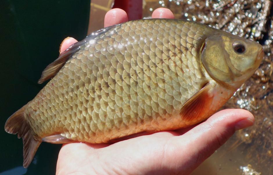 Karauschenbesatz Forst Biotope 4 940x602 Fischbesatz mit Karauschen bei Obersinn