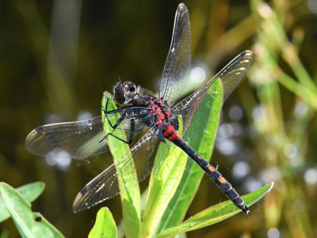 Kleine Moosjungfer 620x465 Seltene Libelle im Hafenlohrtal wiederentdeckt