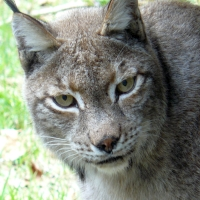 Luchs, Schwarzwald, Tierpark